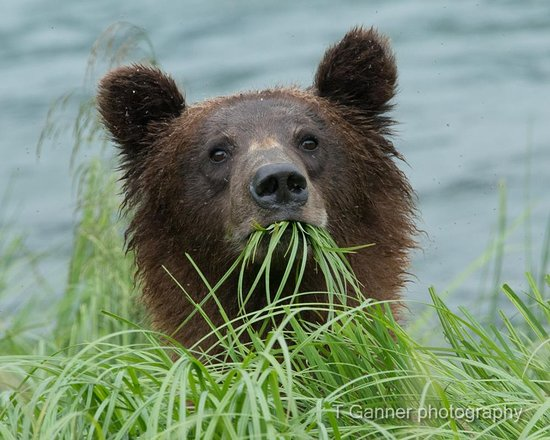 Haines, AK: Young brown bear along Lutak Inlet