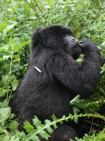 Tracking the endangered Mountain Gorillas on the slopes of the volcanoes is a magical experience