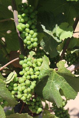 Max Napa Tours: Organic grapes