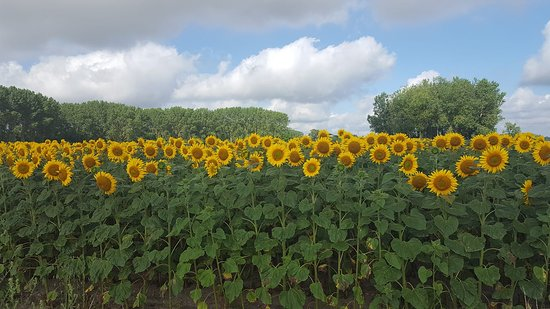 Parcay-les-Pins, France: Sunflowers surrounding us at Loire Life Cycling Holidays
