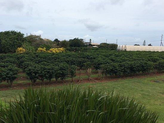 Kauai Coffee Company: Campos de café