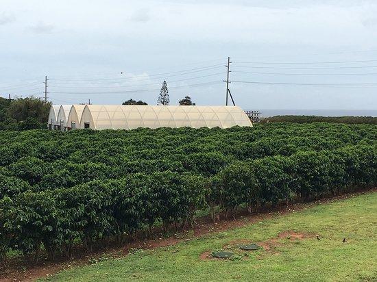 Kauai Coffee Company: Cafezal