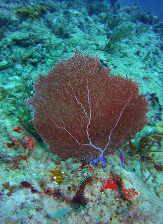Pura Vida Divers: Fan coral