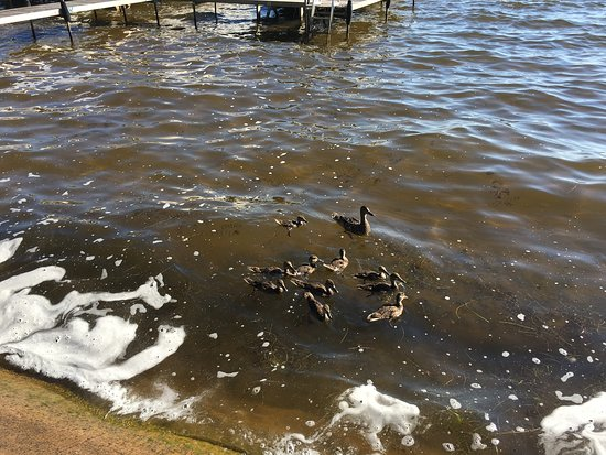 Houghton Lake, MI: Duck family