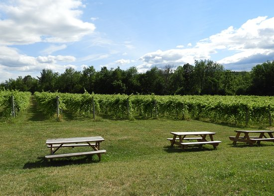 Shelburne Vineyard: View of the vineyard from the patio.