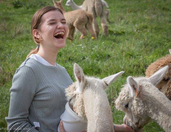 Cornerstone Alpaca Farm