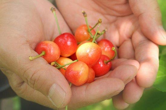 Shakotan Peninsula and Cherry Picking...