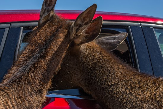 """African Safari Wildlife Park: Our animals love to say """"hi"""" to every car!"""