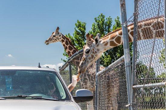 African Safari Wildlife Park: It's a Giraffic-Jam!