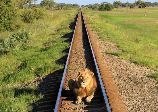 Hwange, Zimbabwe: Nqwele the lion stops the Elephant Express!