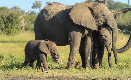 Hwange, Zimbabwe: Very young calf at Stoffies.