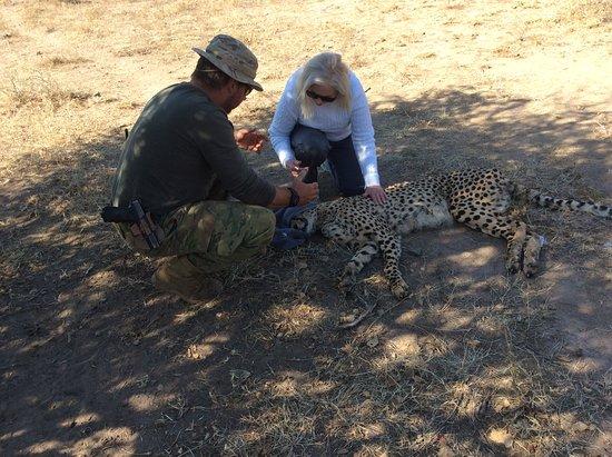 Etali Safari Lodge: cheetah interaction