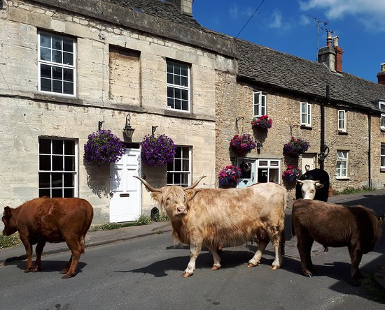 Minchinhampton, UK: Cows on Well Hill (the cows graze the common in summer, and wander through the town occasionally