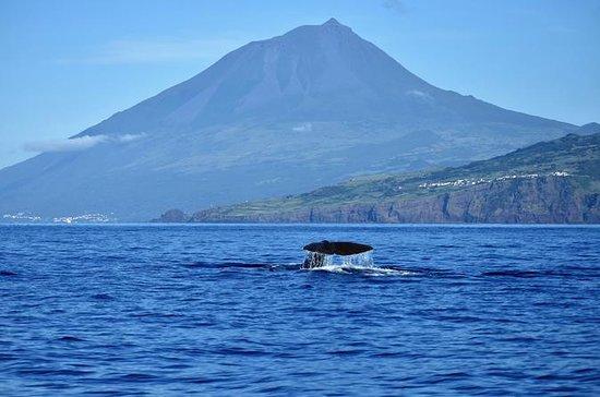 Pico Island Wal und Dolphin Watching...