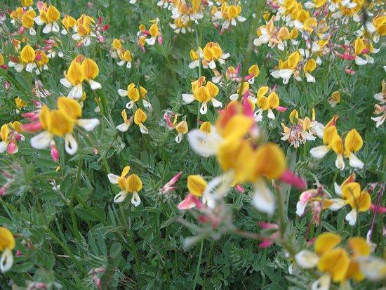 Springville, Καλιφόρνια: Wildflowers in bloom