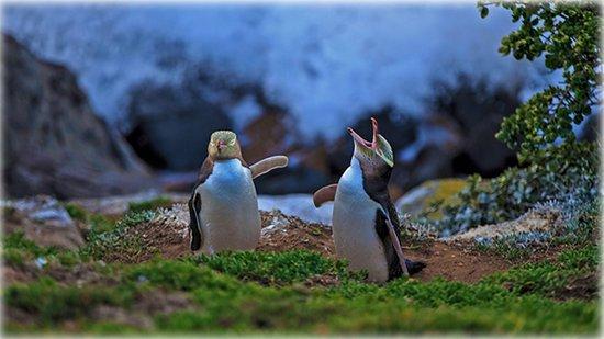 Yellow-eyed penguins at Katiki Point, Moeraki, New Zealand