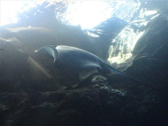 Maui Ocean Center: stingray