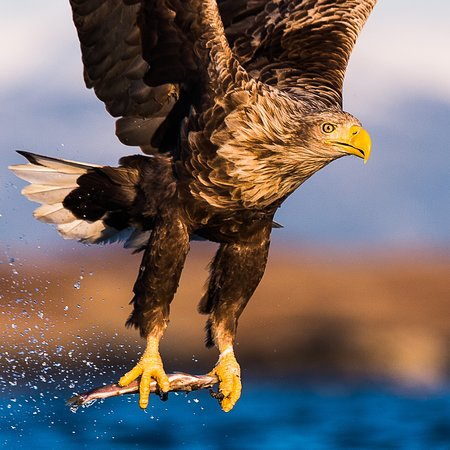 Smola Municipality, Norwegen: Harry the eagle
