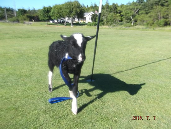 George, our French River Golf Course Mascot, he is a male sheep and loves getting out on the cou