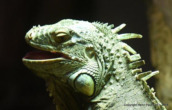 Parc de l'Auxois: Iguane vert.