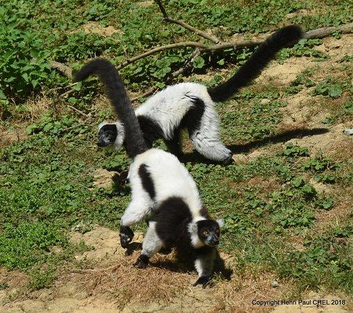 Parc de l'Auxois: Lémurs noir et blanc.
