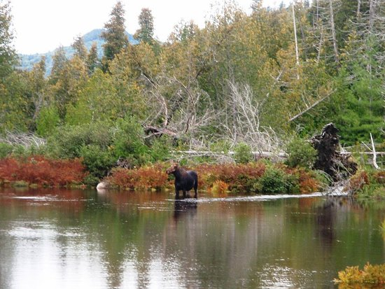Ashland, Мэн: A cow moose... wildlife abounnds in the North Wooods