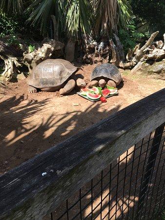 Bermuda Aquarium, Natural History Museum & Zoo: Galápagos tortoiss smell!
