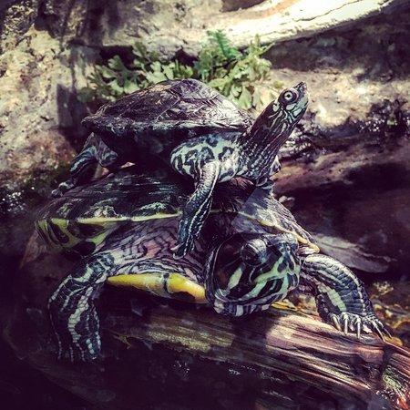 Cadiz, KY: Turtles