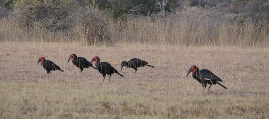 Mabula Private Game Reserve, África do Sul: Ground Hornbills