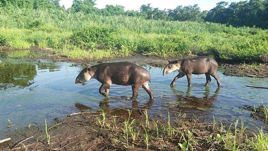 Carate, Costa Rica: Tapir en Corcovado