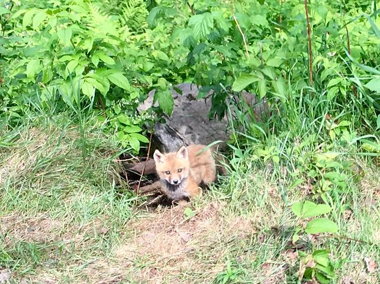 Nominingue, Canada : Fox along Le Petit Train du Nord