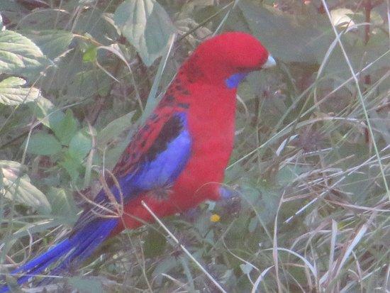Lamington National Park, Australia: Crimson Rosella by the path to the creek