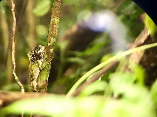Costa Rica Jade Tours: Check out this basilisk (I think).