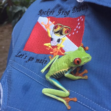 Playa Flamingo, Costa Rica: Our Costa Rican Rocket Frog...its real...;-)
