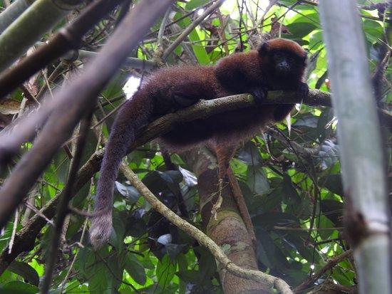 Madre de Dios Region, Peru: Dusky Titi Monkey