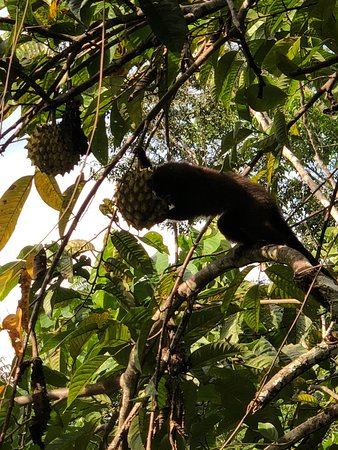 Madre de Dios Region, Peru: Titi Monkey close to cabins