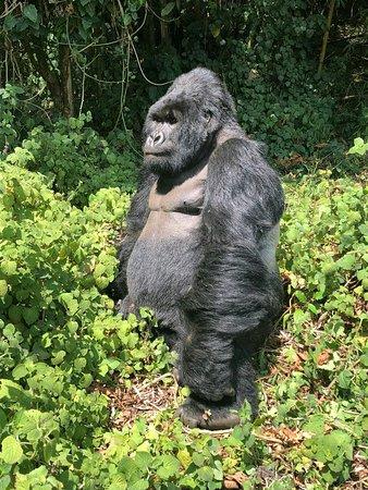 Entebbe, Uganda: Once in a lifetime Gorilla safari experience