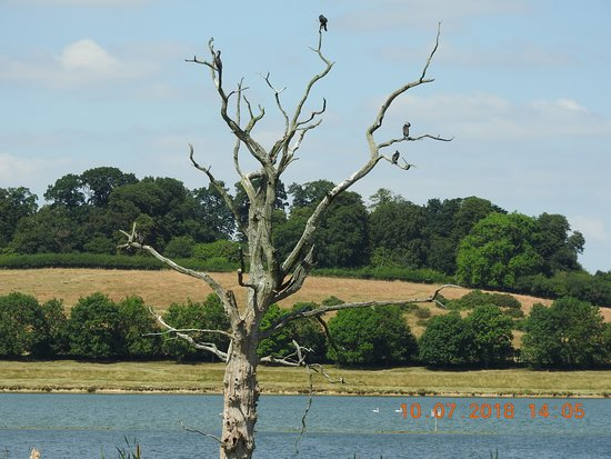Oakham, UK: Cormorants