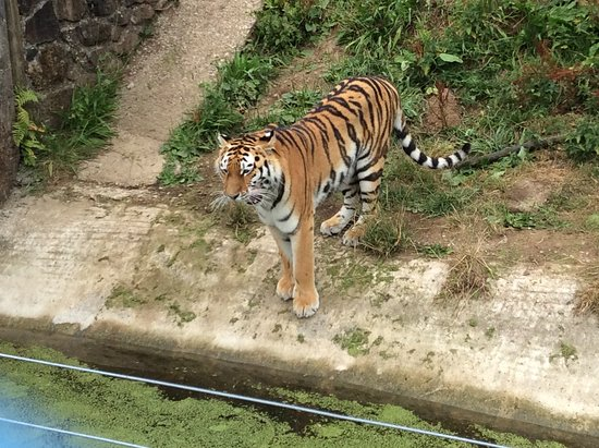 Sparkwell, UK: Beautiful Tigers