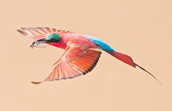 Katima Mulilo, Namibië: Carmine Bee-Eater