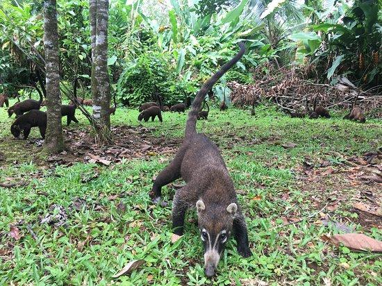 Boca Tapada, Costa Rica: Couatis en balade dans le parc