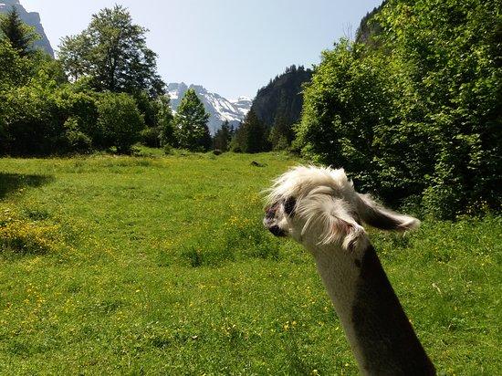 Blausee-Mitholz, Switzerland: A native Alpaca admiring the views