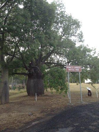 Roma's Biggest Bottle Tree