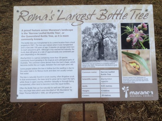 Roma's Biggest Bottle Tree