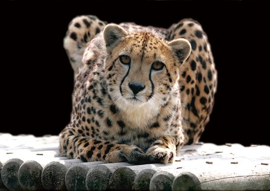 Barnstaple, UK: Cheetah