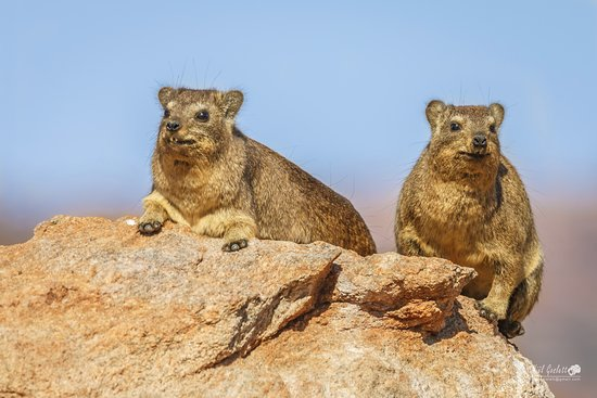 Augrabies Falls National Park, South Africa: Dassie