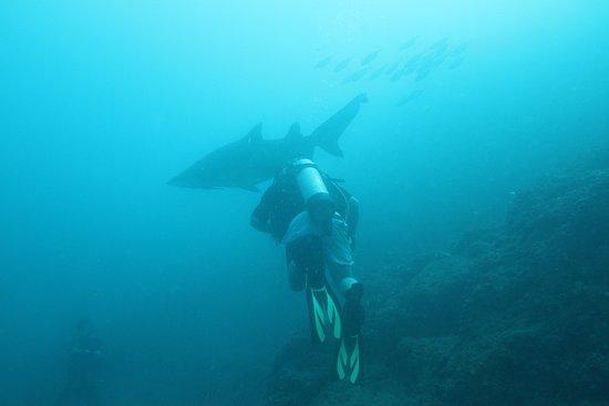 Wolf Rock Dive Centre: Grey Nurse sharks