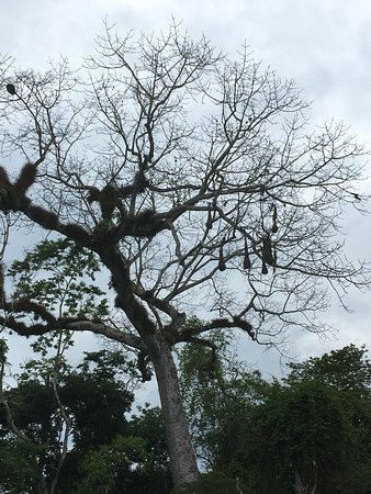 Hotel Tikal Inn: Interesting birds' nests in the tree by the pool