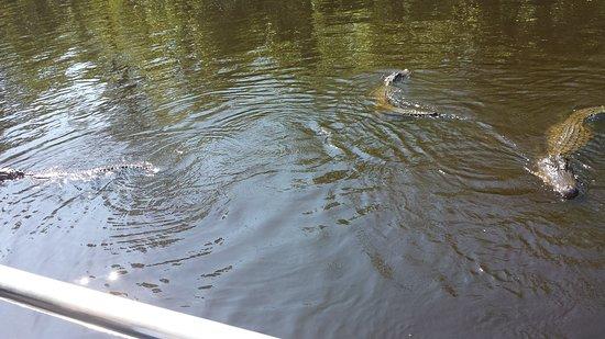 LaPlace, LA: More Gators