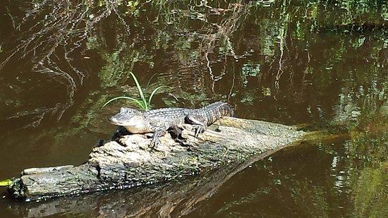 LaPlace, LA: Gator on a log :)